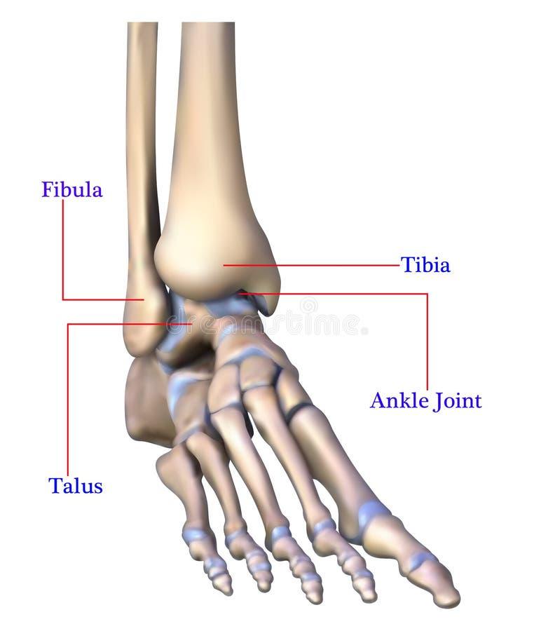 Anatomía del hueso de pie stock de ilustración