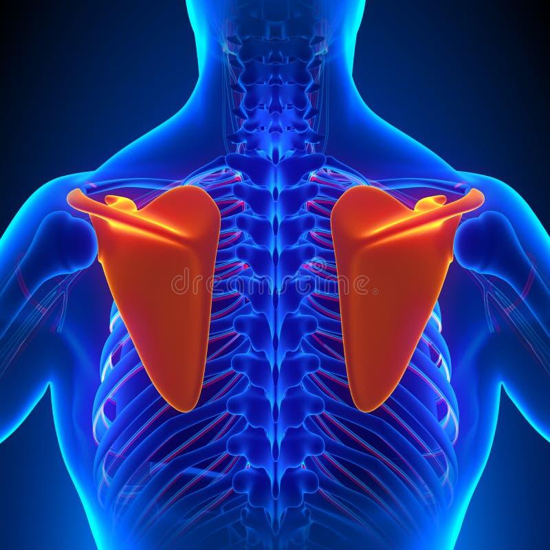 Anatomía del hueso del omóplato con el sistema circulatorio stock de ilustración