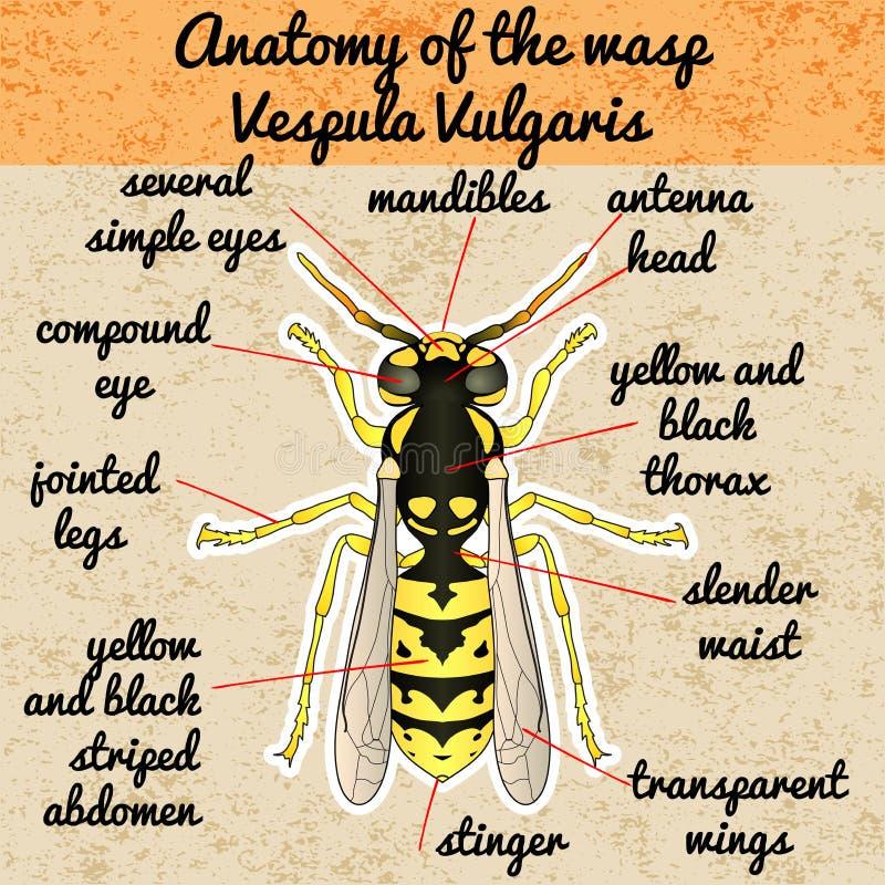 Anatomía Del Insecto Avispa Vespula Vulgaris Bosquejo De Ilustración ...