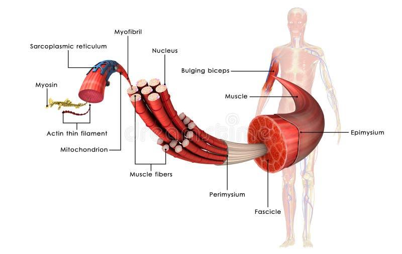 Anatomía del músculo ilustración del vector