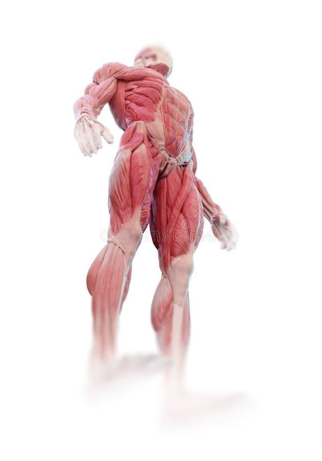 Anatomía del músculo fotografía de archivo