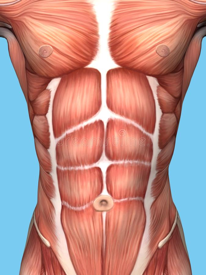 Anatomía del músculo del pecho masculino ilustración del vector