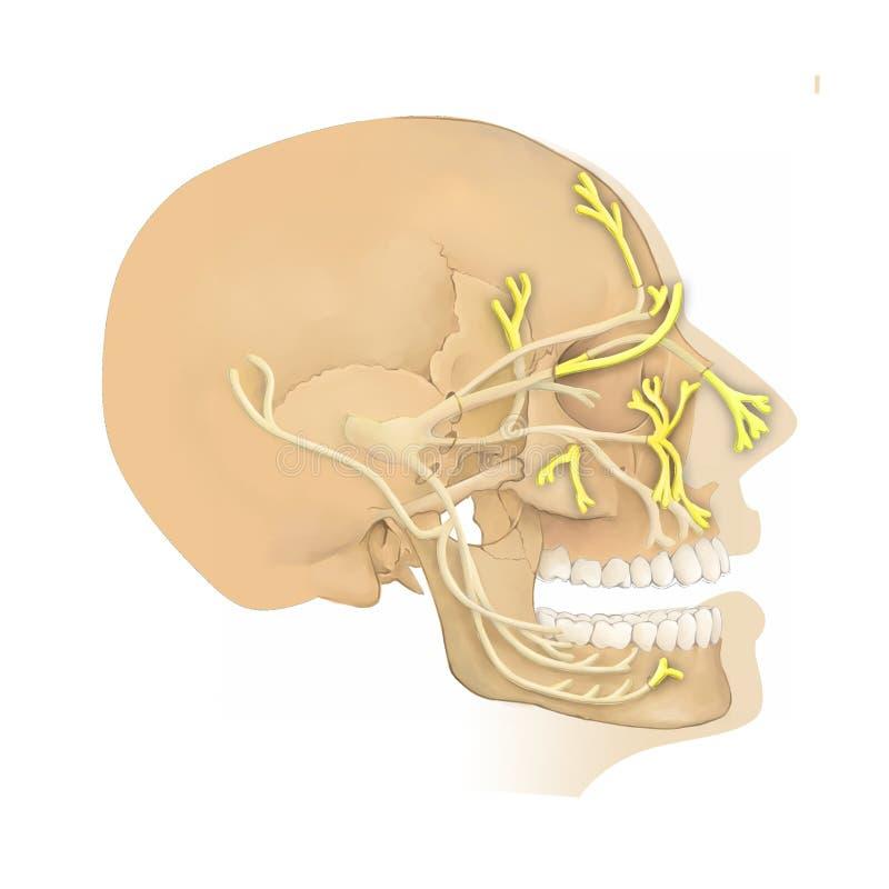 Anatomía del nervio de Trigeminal ilustración del vector