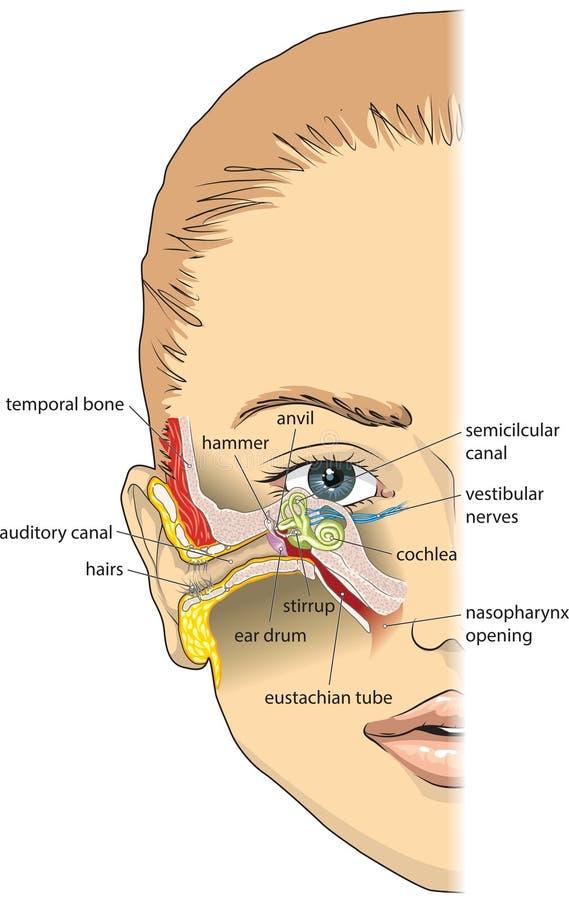 Anatomía del oído ilustración del vector. Ilustración de ilustración ...