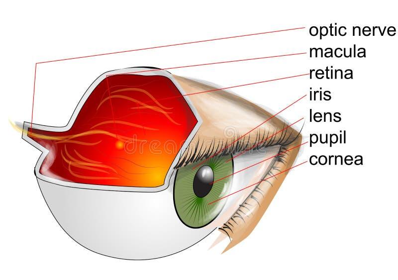 Anatomía del ojo stock de ilustración