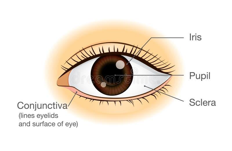 Anatomía del ojo humano en vista delantera ilustración del vector