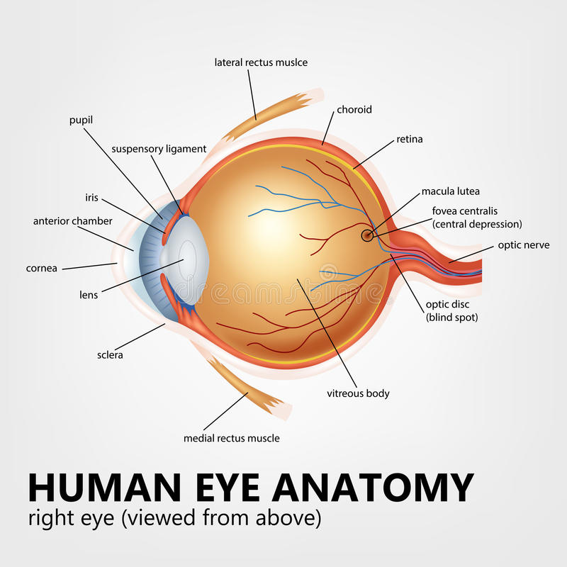 Anatomía Del Ojo Humano, Ojo De La Derecha Visto Desde Arriba ...