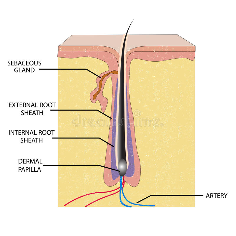 Anatomía del pelo stock de ilustración
