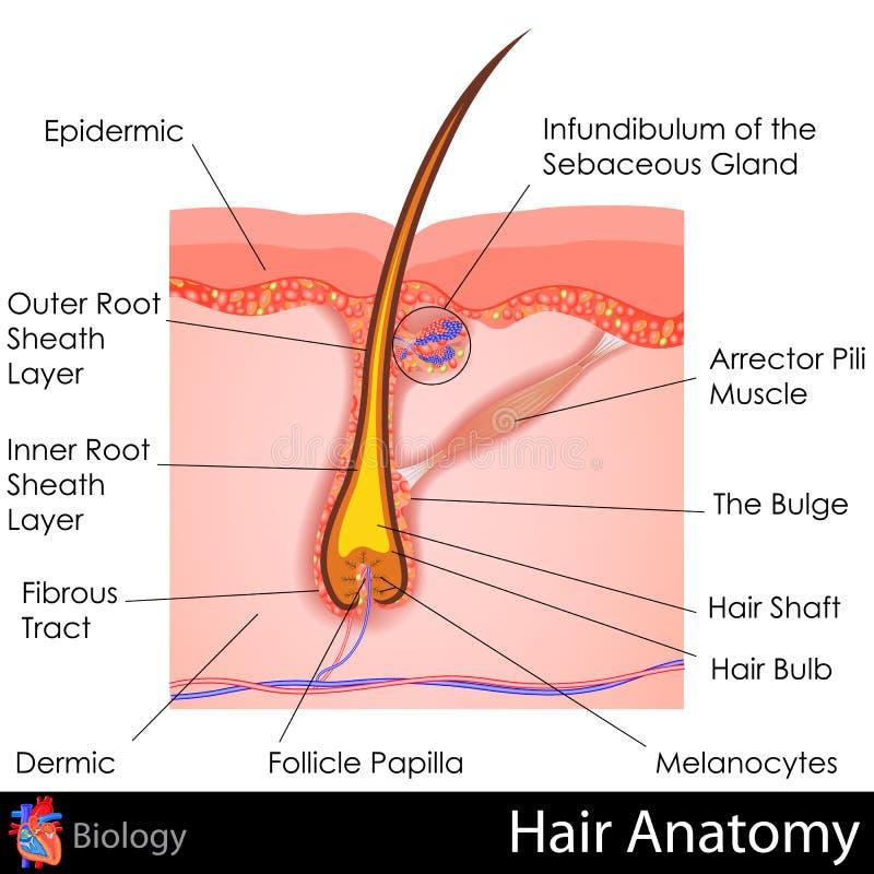 Anatomía del pelo ilustración del vector