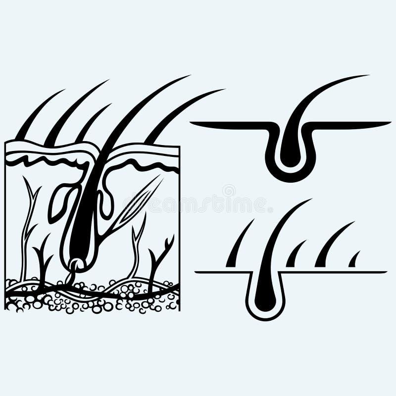 Anatomía del pelo y folículo de pelo libre illustration