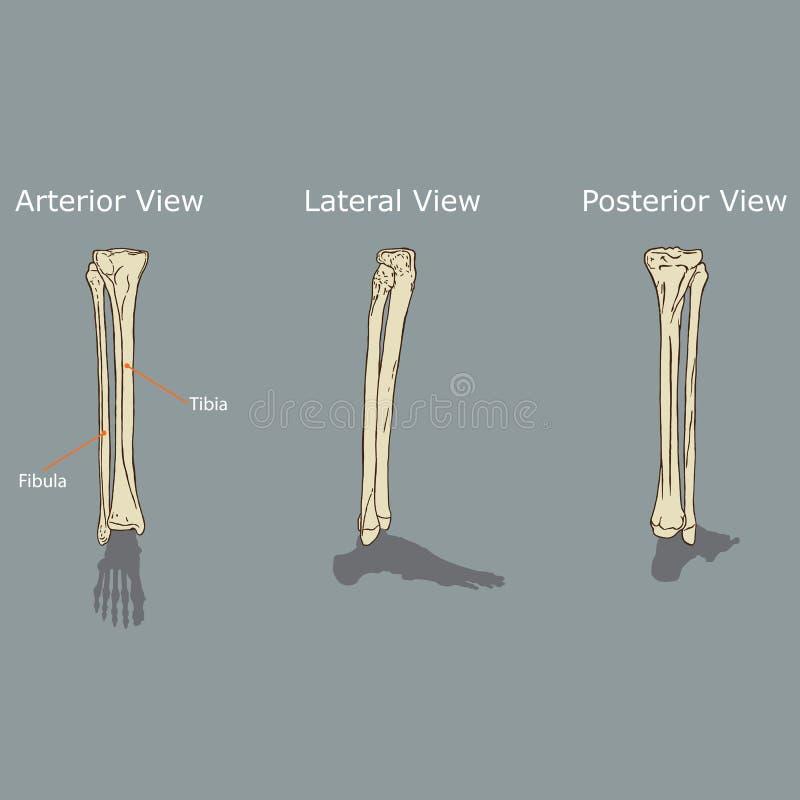 Anatomía Del Peroné Y De La Tibia Ilustración del Vector ...