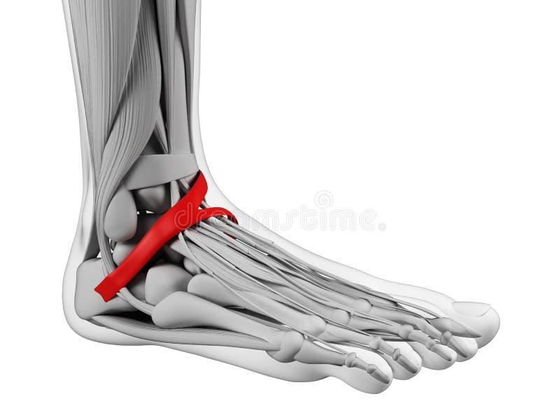 Anatomía del pie stock de ilustración
