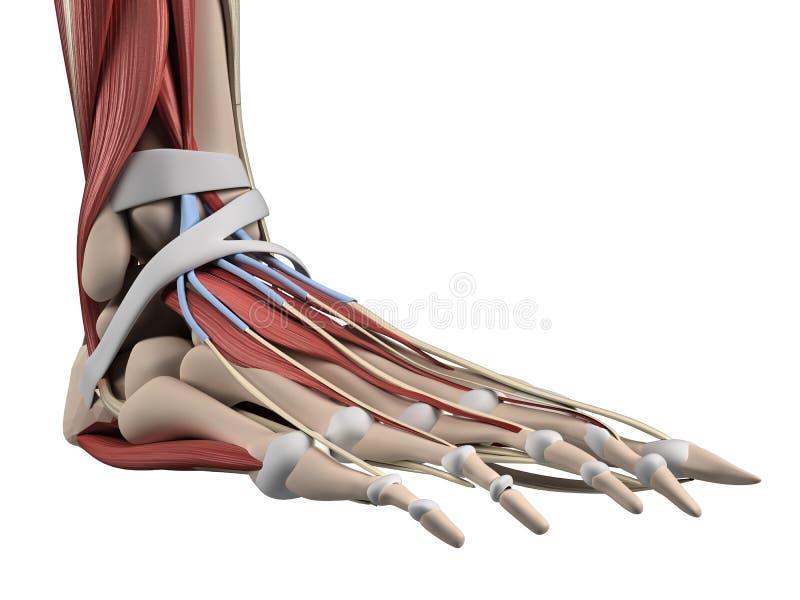 Anatomía del pie ilustración del vector