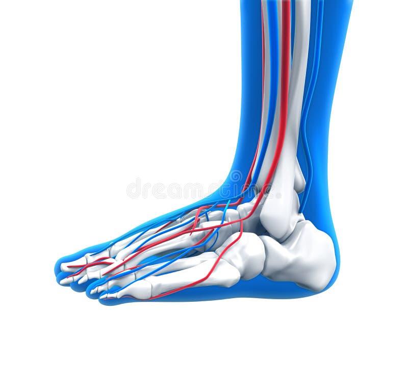 Anatomía del pie humano ilustración del vector