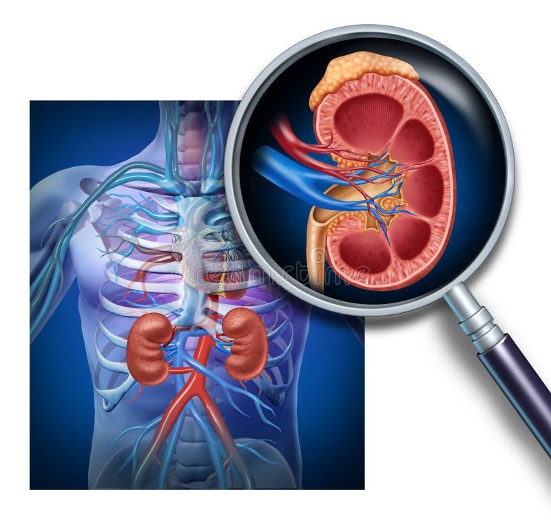 Anatomía del riñón humano stock de ilustración