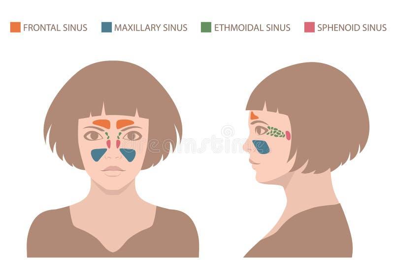 anatomía del sino, sistema respiratorio humano libre illustration