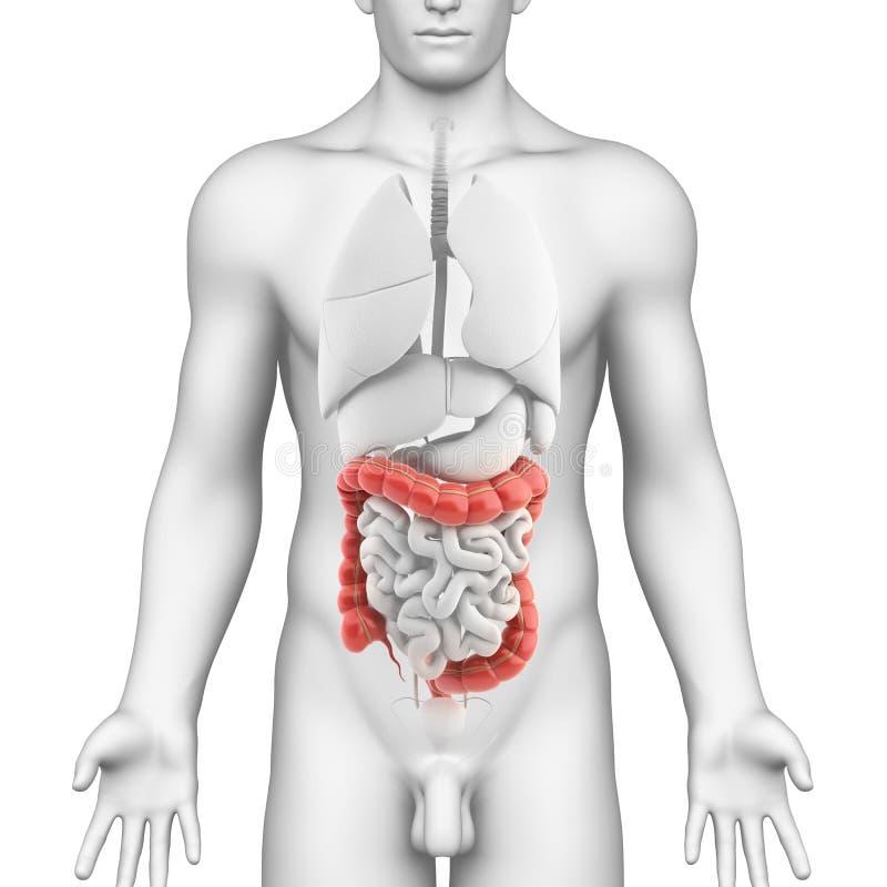 Anatomía del sistema digestivo masculino ilustración del vector