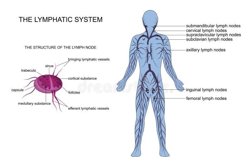 Anatomía del sistema linfático stock de ilustración
