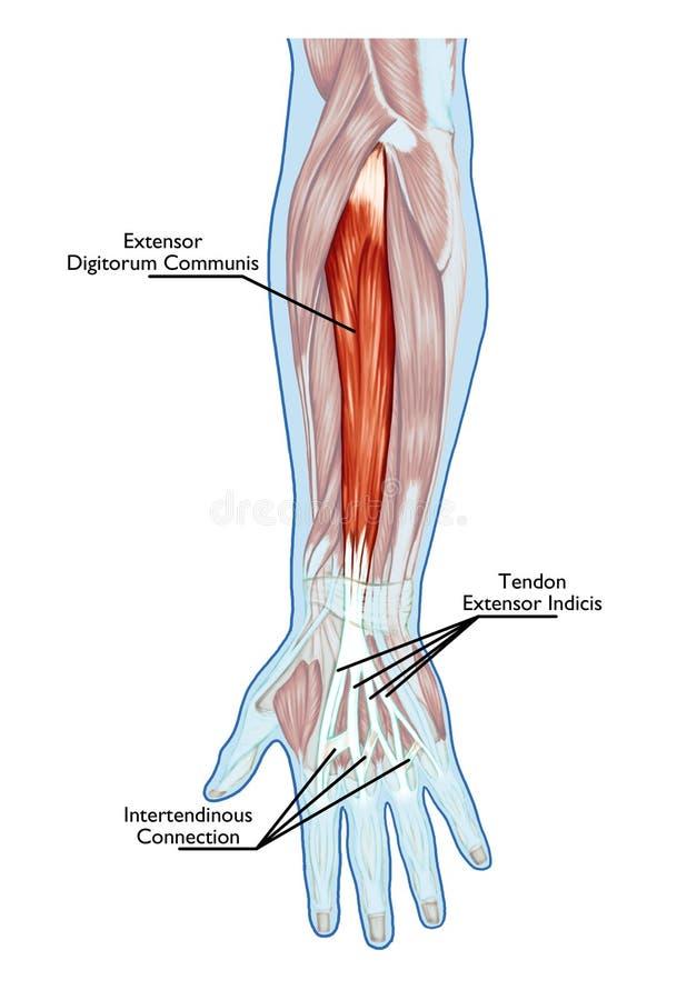 Anatomía Del Sistema Muscular Stock de ilustración - Ilustración de ...
