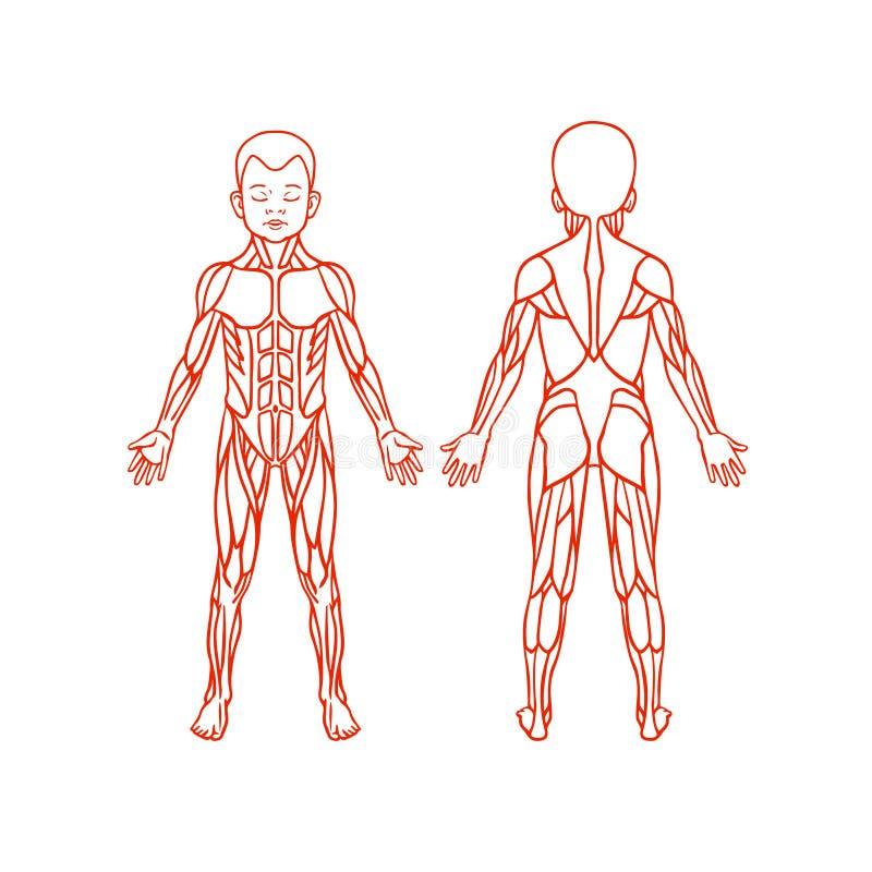 Anatomía Del Sistema Muscular De Los Niños, Ejercicio Y Ilustración ...