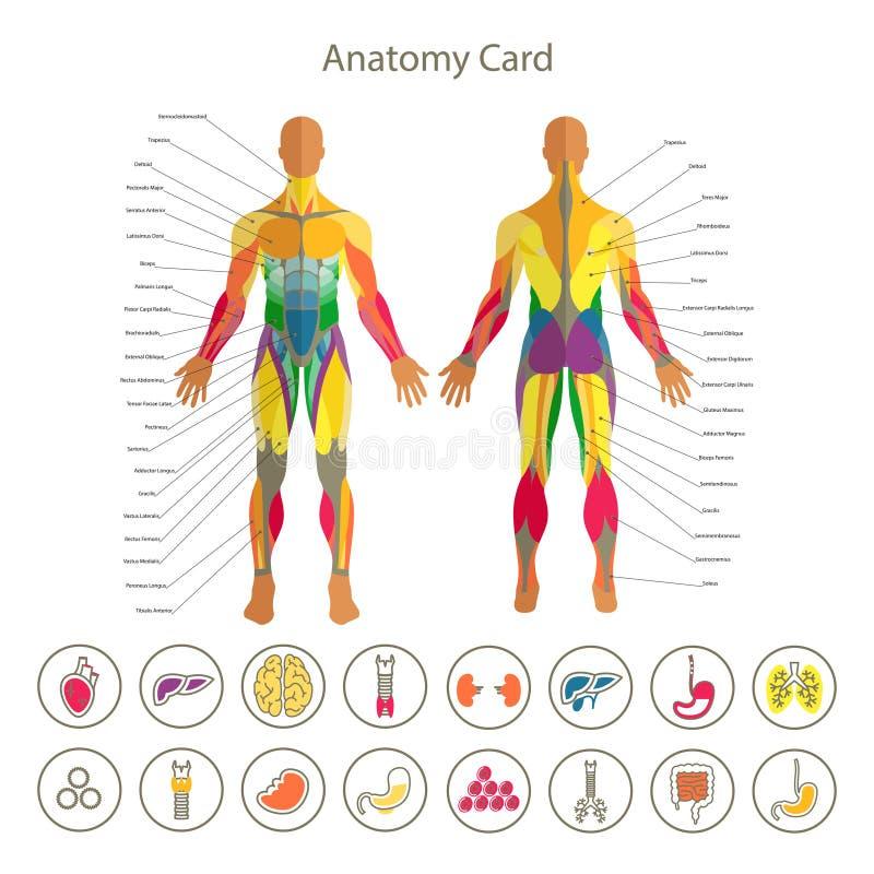 Anatomía del sistema muscular masculino Visión delantera y trasera Sistema médico del icono de los órganos humanos ilustración del vector