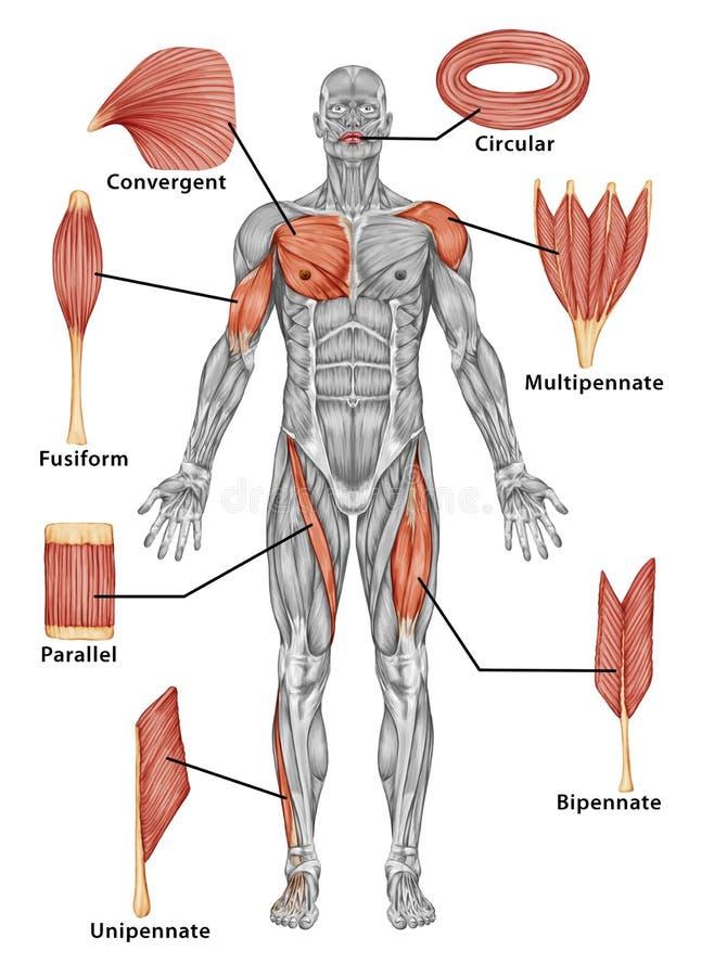 Anatomía del sistema muscular masculino - visión posterior o stock de ilustración
