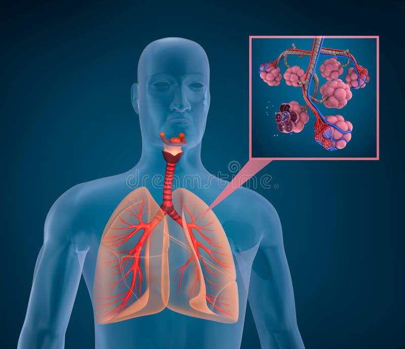 Anatomía Del Sistema Respiratorio Humano Stock de ilustración ...