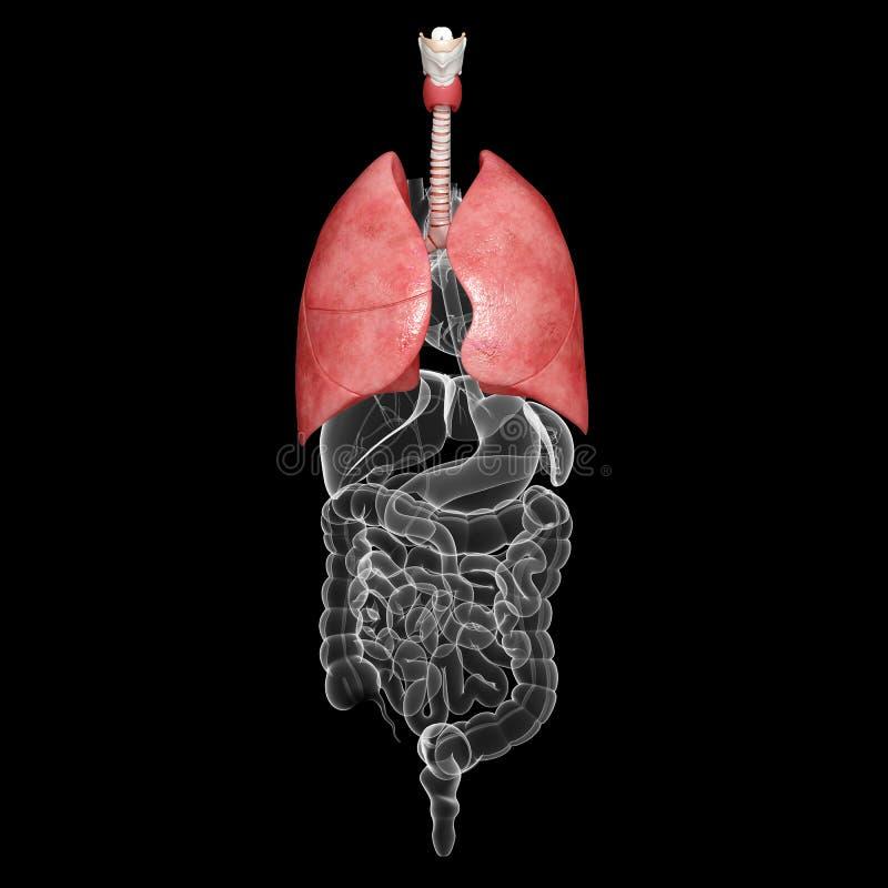 Anatomía Del Sistema Respiratorio Humano De Los Pulmones Stock de ...