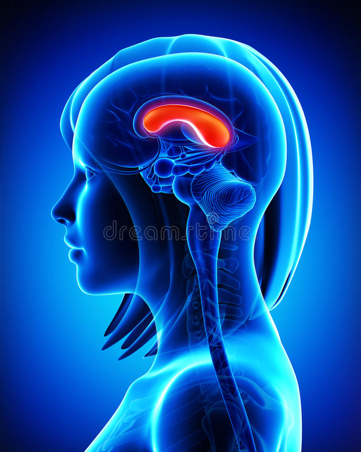Anatomía Del Tálamo Del Cerebro De La Hembra Stock de ilustración ...