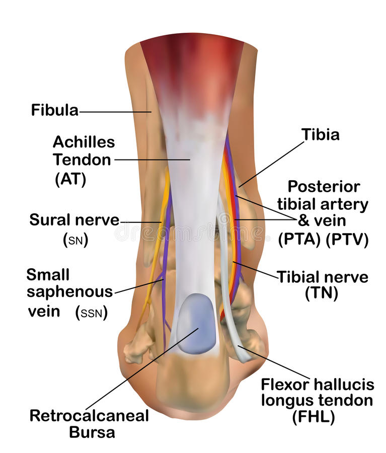 Anatomía del tobillo ilustración del vector