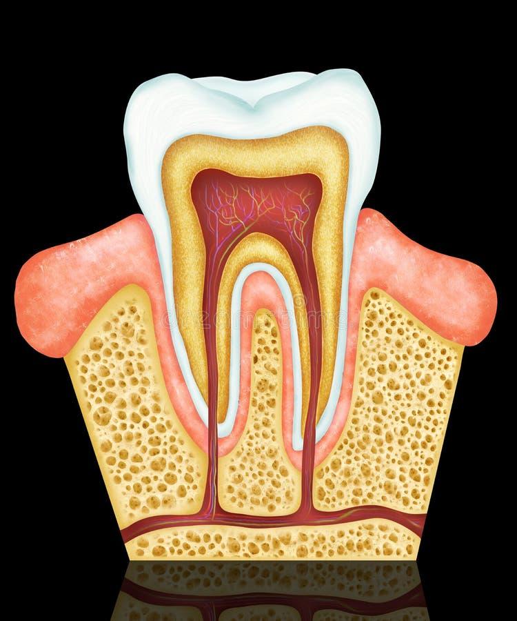 Anatomía dental stock de ilustración. Ilustración de anatomía - 75699312