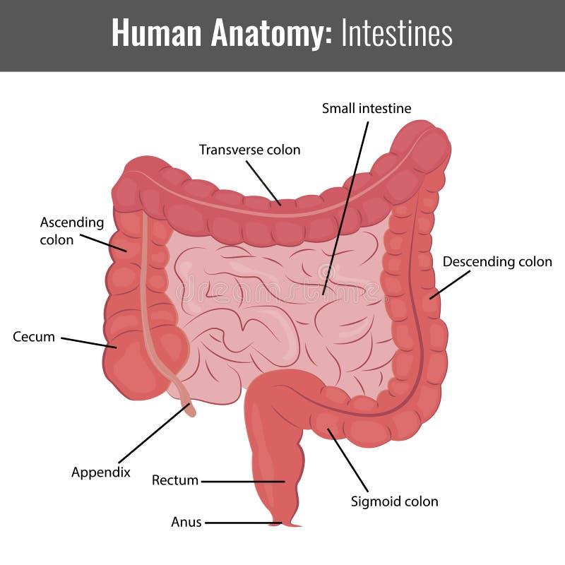 Anatomía Detallada De Los Intestinos Humanos Vector Médico ...