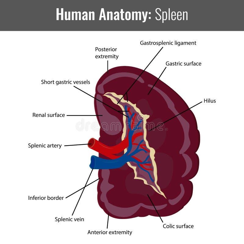 Anatomía Detallada Del Bazo Humano Vector Médico Ilustración del ...