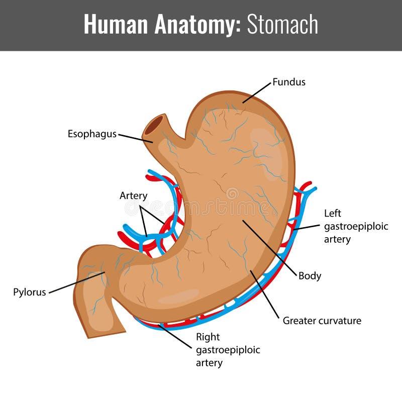 Anatomía Detallada Del Estómago Humano Vector Médico Ilustración del ...