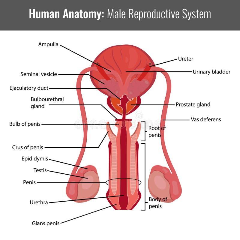 Anatomía detallada masculina del sistema reproductivo Vector médico ilustración del vector