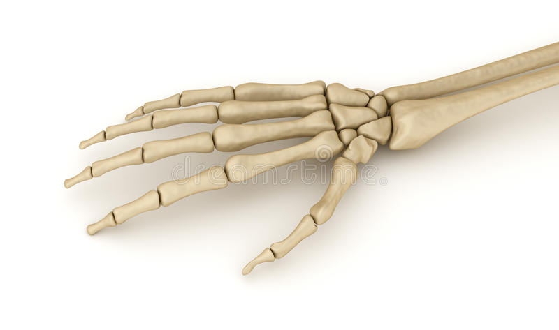 Anatomía esquelética de la muñeca humana ilustración del vector