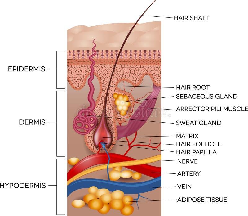 Anatomía etiquetada de la piel y del pelo ilustración del vector