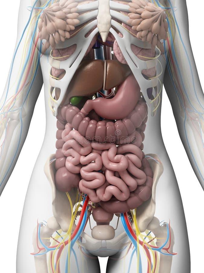 Anatomía femenina stock de ilustración