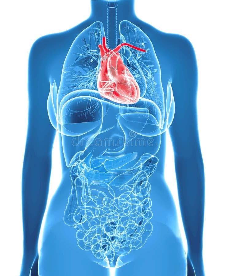 Anatomía Femenina Con El Corazón Destacado Stock de ilustración ...