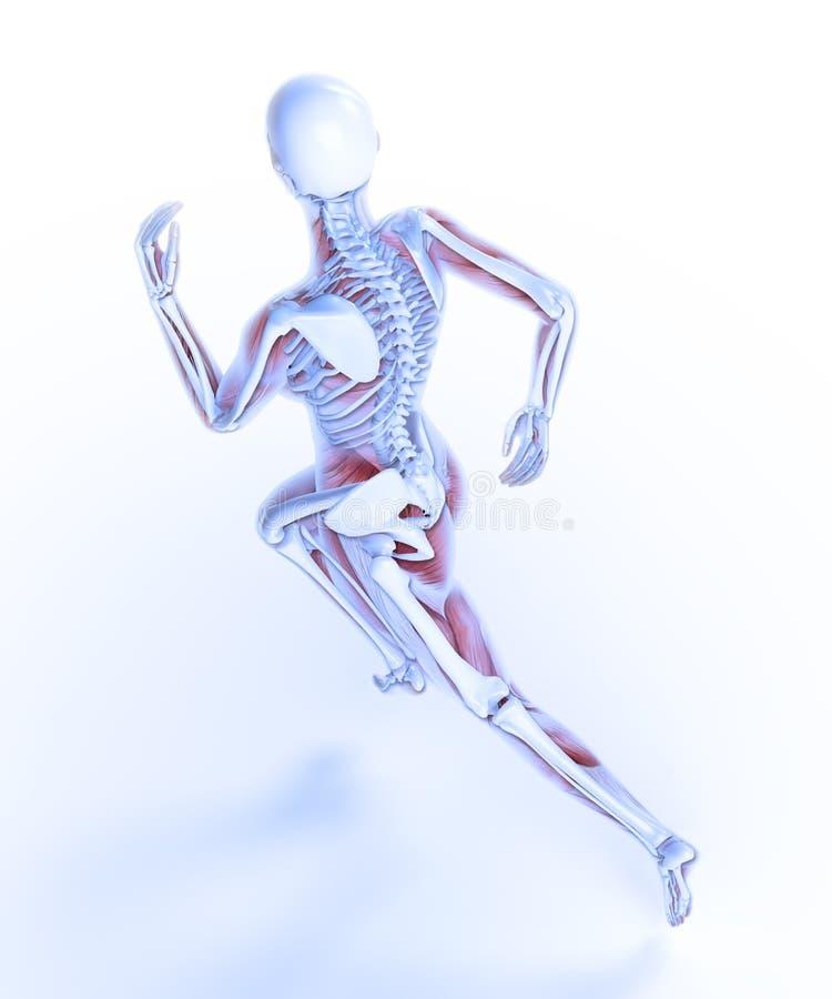 Anatomía femenina del corredor ilustración del vector