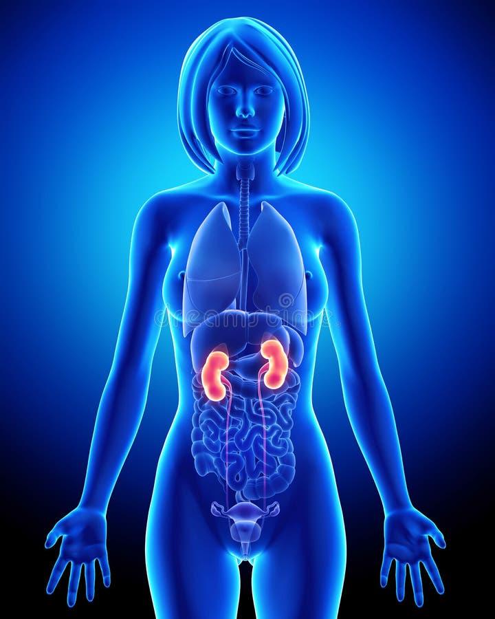 Anatomía Femenina Del Riñón En Lazo Azul De La Radiografía Stock de ...