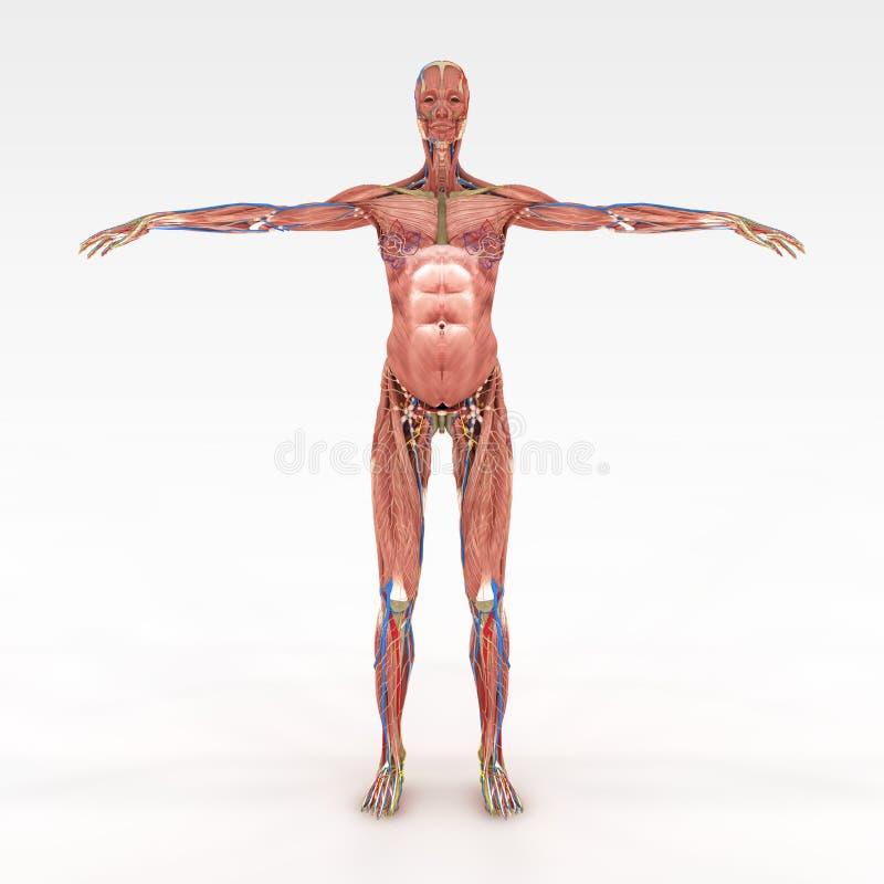 Hermosa Torso De La Anatomía Femenina Ornamento - Anatomía y ...