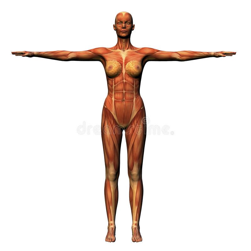 Anatomía femenina - musculatura imágenes de archivo libres de regalías