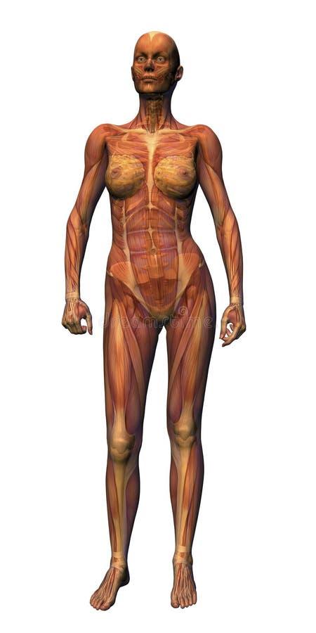 Anatomía femenina - relaxed stock de ilustración