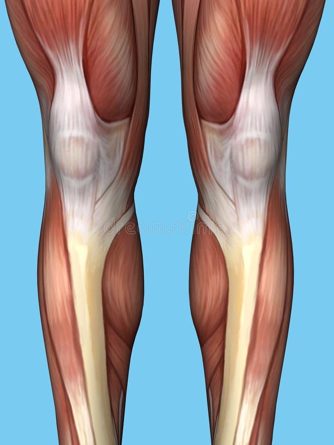 Anatomía frontal de la pierna de la visión ilustración del vector
