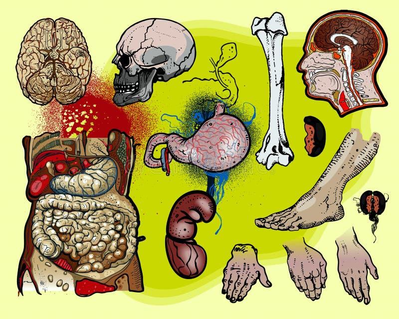 Anatomía humana ilustración del vector. Ilustración de cerebro ...