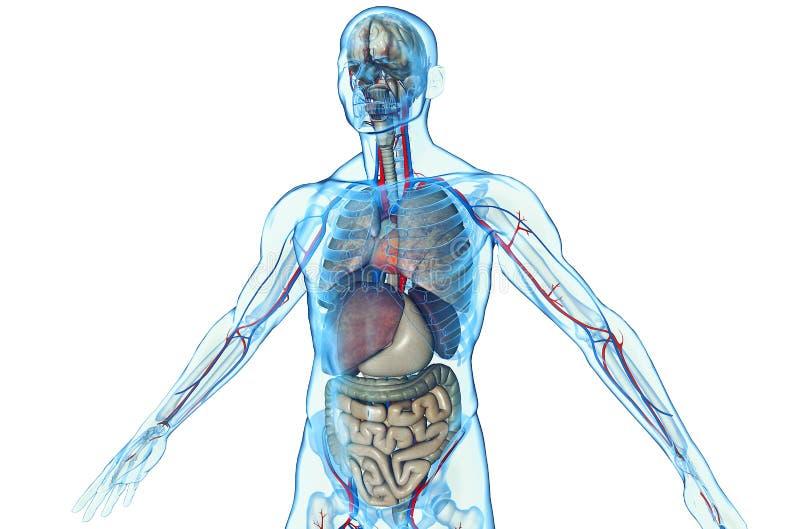 Anatomía humana stock de ilustración