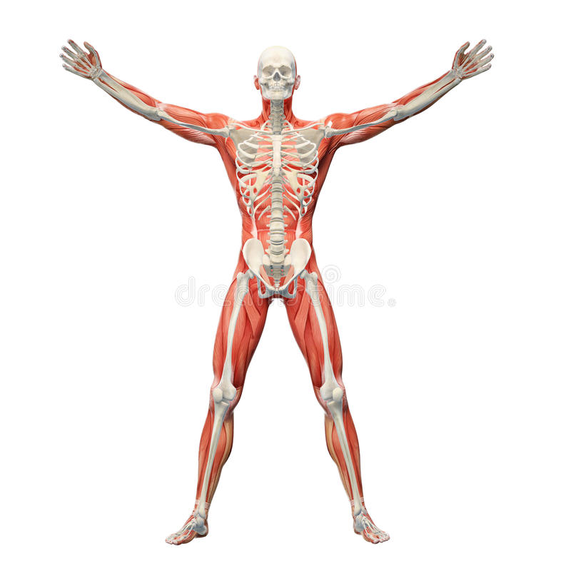 Download Anatomía humana stock de ilustración. Ilustración de músculo - 42432618