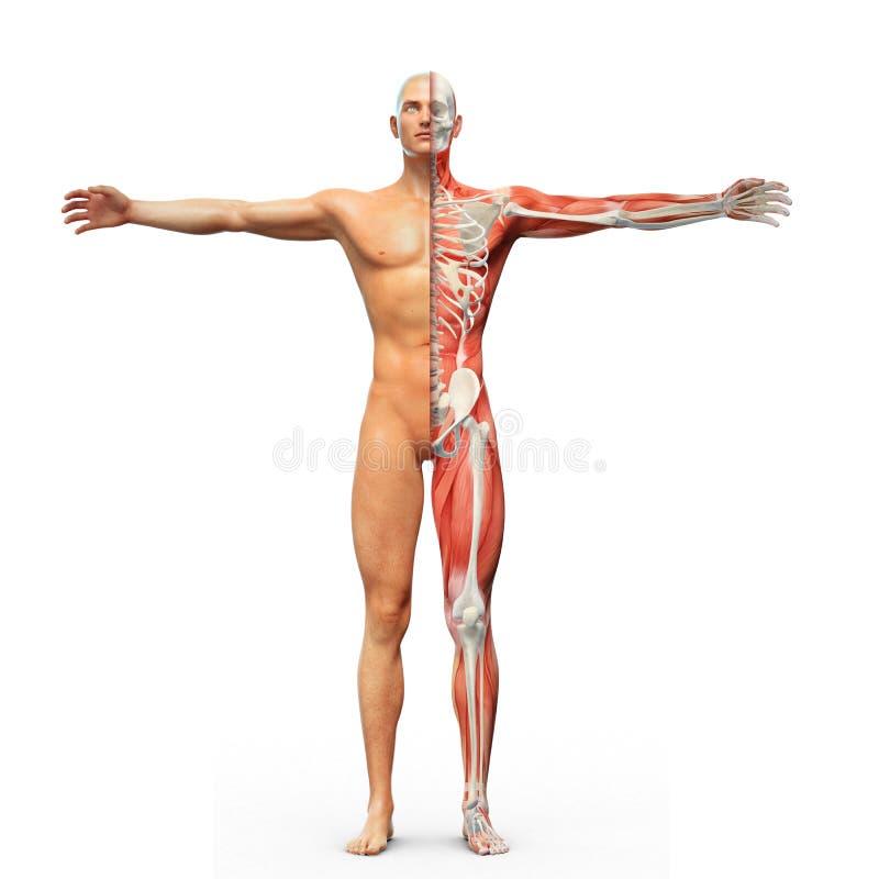 Download Anatomía humana stock de ilustración. Ilustración de medicina - 42432623