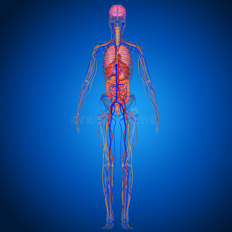 Anatomía humana stock de ilustración. Ilustración de gráfico - 50032930